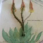 Aloe Stems