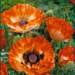 Pinnacle Oriental Poppy